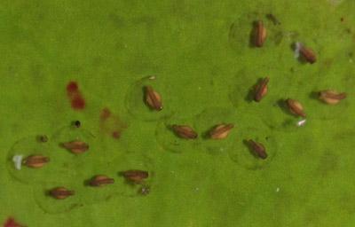 Peron's Tree Frog Tadpoles 13-01-08