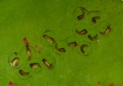 Peron's Tree Frog Tadpoles 14-01-08
