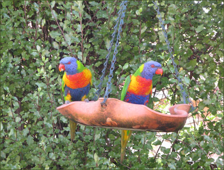 Rainbow Lorikeets at the feeder