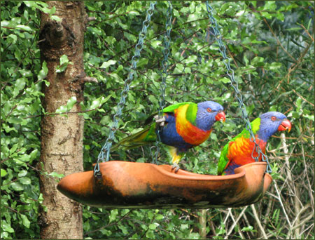 Lorikeets at the Bird Feeder