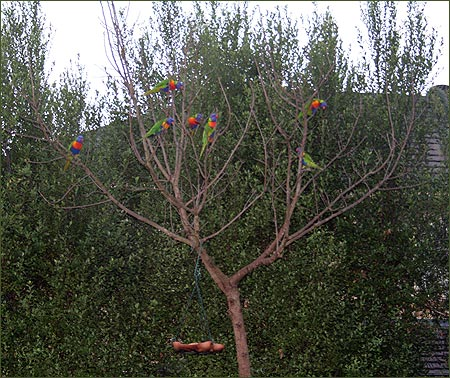 Lorikeet tree