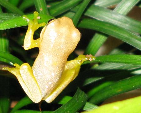 Baby Dainty Tree Frog