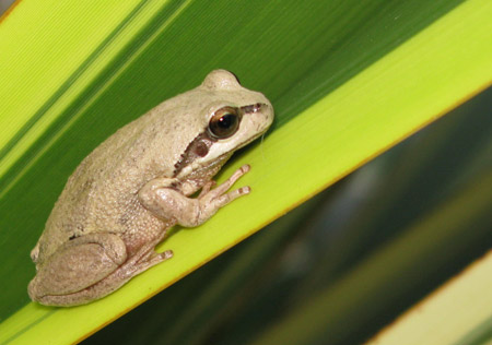 verreaux s tree frog link to frogs australia network database