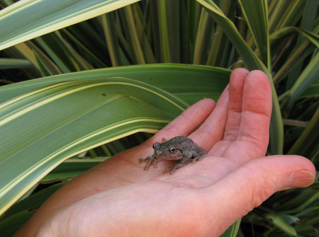 Young litoria peronii