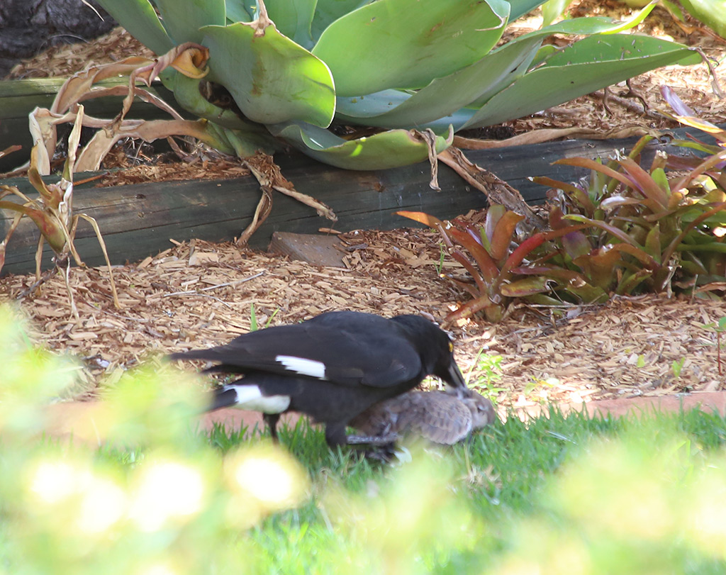 birds in backyards currawong pied currawong birds in